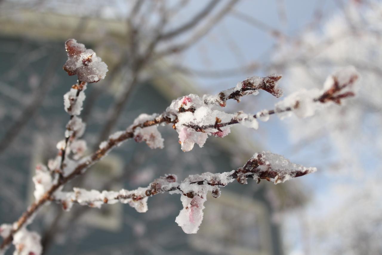 Frozen plum tree buds.