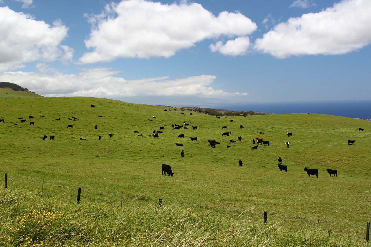 Grass fed cows on the Kohala pastures.