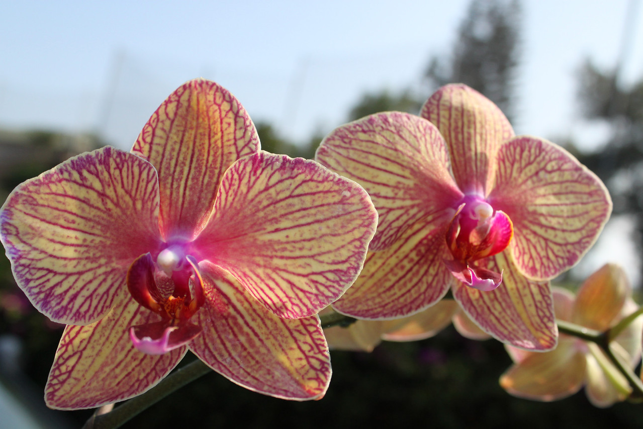 "Orchid ""Howard's Dream""."