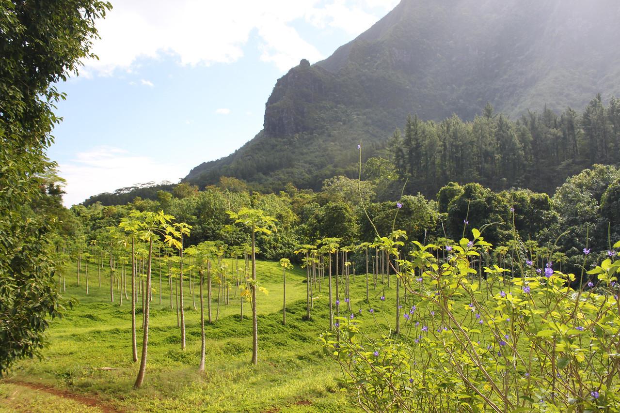 Breadfruit trees.