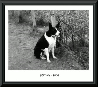 Mickey, My Sisters Border Collie.