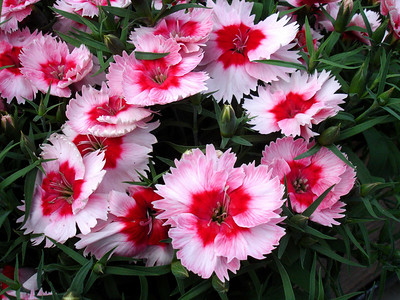 Another sensational dianthus.