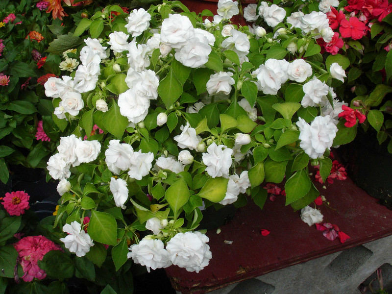 A double, rose-flowered impatiens.  The red and the pink ones look very much like roses.