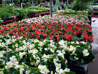 Begonias have been a favorite of mine since I was 12 years old.