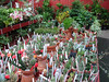 Cacti are sold at very modest prices.  Like all the plants in the nursery, they are clean and well grown.