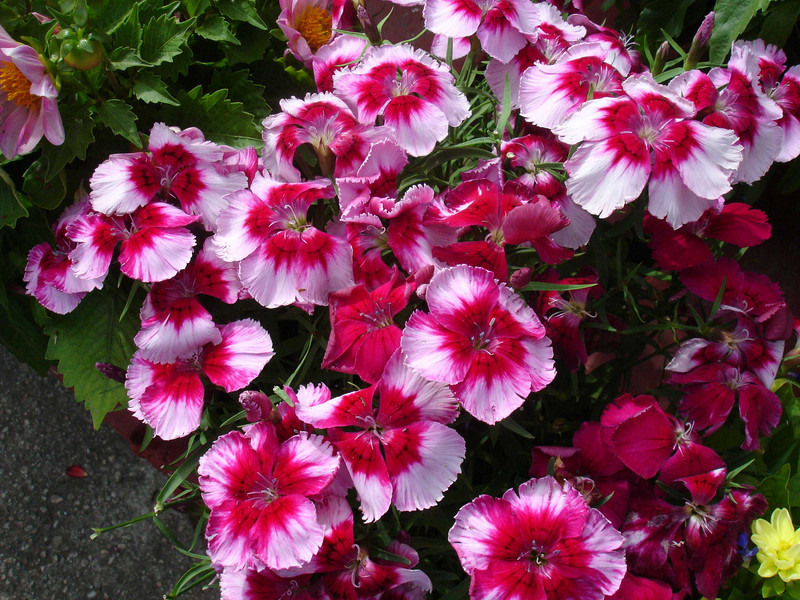 The dianthus are just stupendous.  They have been vastly improved over the 50 years I've been gardening.