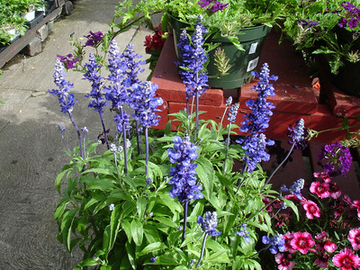 "Salvia 'Victoria Blue."""