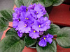 My grandmother inculcated a love of african violets in me.  If she were alive today, she would be amazed at the advances made by breeders.