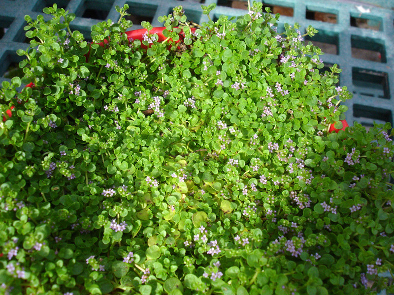 Corsican mint, <i>Mentha requienii</i>.  I mean to use it in a terrarium.  Even though they advise growing it on the dry side, it dies under that regimen, so I keep it soggy and it thrives.