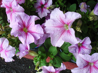 Some more petunias.