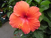 I wish I had the space for this hibiscus.