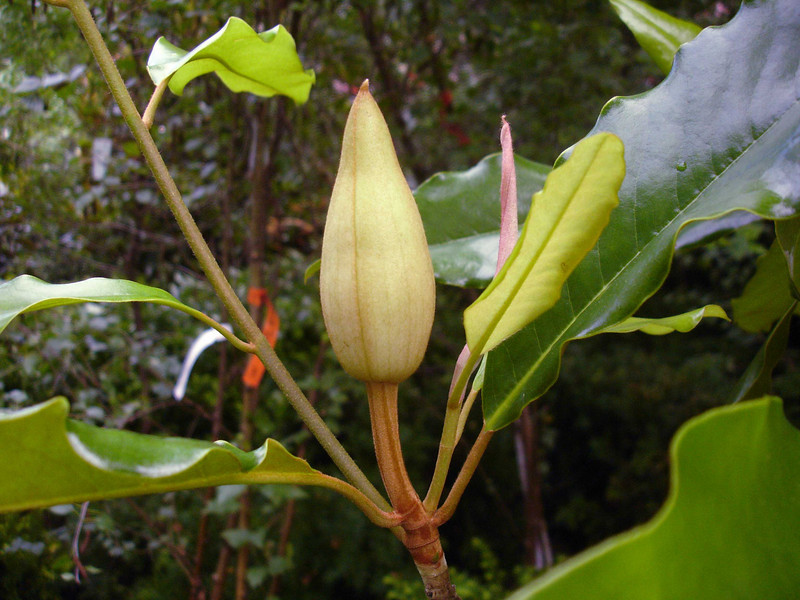 Magnolia 'Moonland'