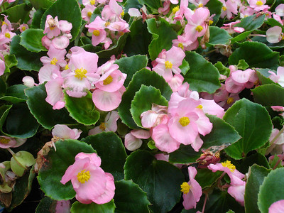 These begonias have the kind of pink color that wins one over.