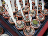 Lithops are a favorite of mine.  Exercising monumental self-control, I bought only one.