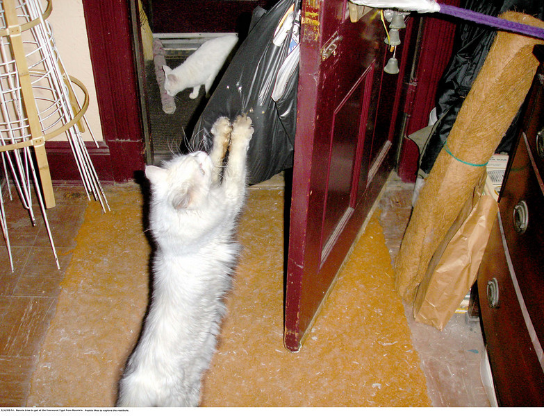 When I came home, I hung the bag containing the goodies I got from Ronnie and Paul's on a doorknob for a moment, and Bennie took the opportunity to rip the plastic apart in order to get at the liverwurst.  In the background, Pookie inspects a doorsweep in the vestibule.  Feb 4, 2005.
