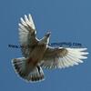 Flying Oriental Roller Pigeon