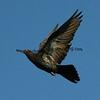 Flying Oriental Roller