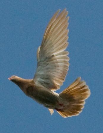 Flying Oriental Roller Pigeons In Flight - June 29, 2008