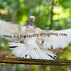 Flying Oriental Roller Pigeon