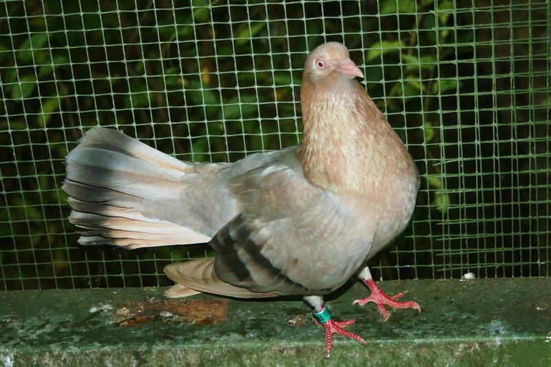 Flying Oriental Roller Pigeons