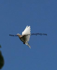 Pigeons In Flight 8-22-8