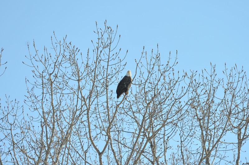 Bald Eagle Search 02-13-11 022