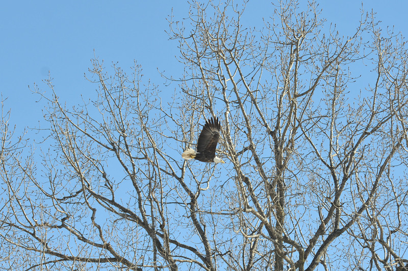 Bald Eagle Search 02-13-11 034