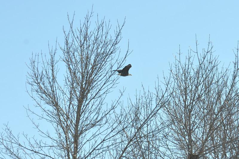 Bald Eagle Search 02-13-11 051