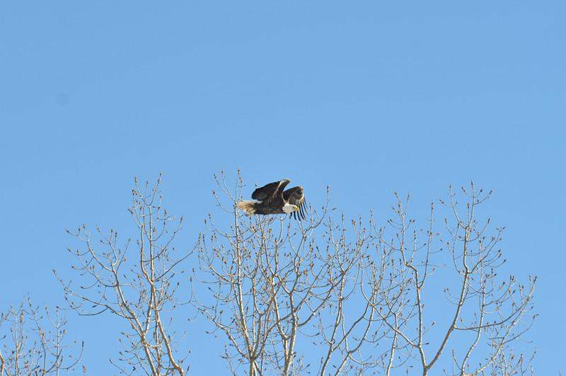 Bald Eagle Search 02-13-11 032