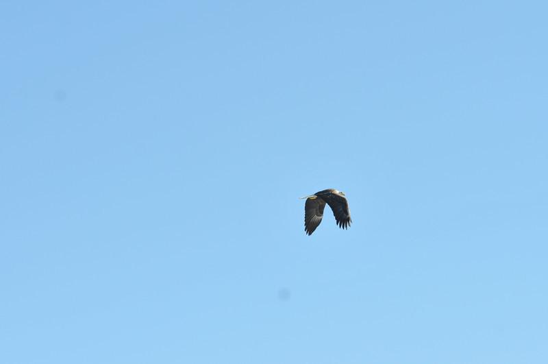 Bald Eagle Search 02-13-11 041