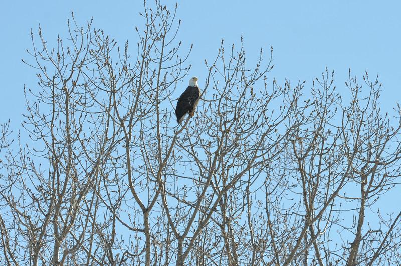 Bald Eagle Search 02-13-11 017