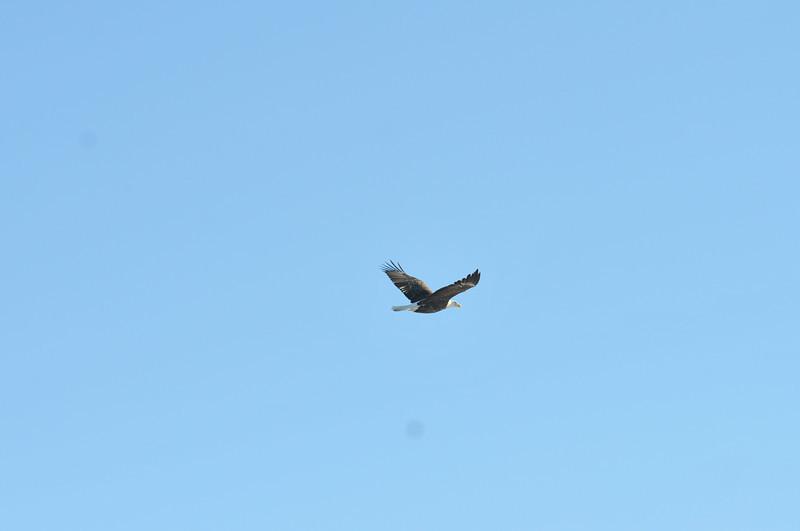 Bald Eagle Search 02-13-11 040