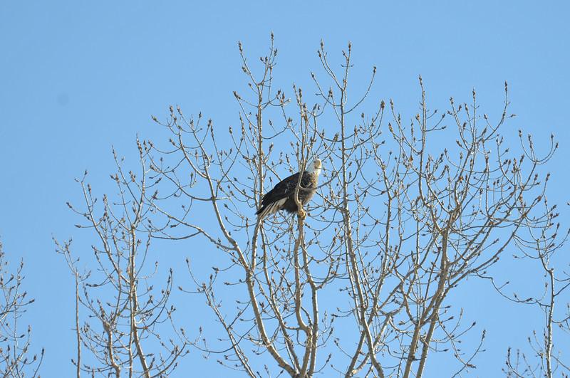 Bald Eagle Search 02-13-11 030