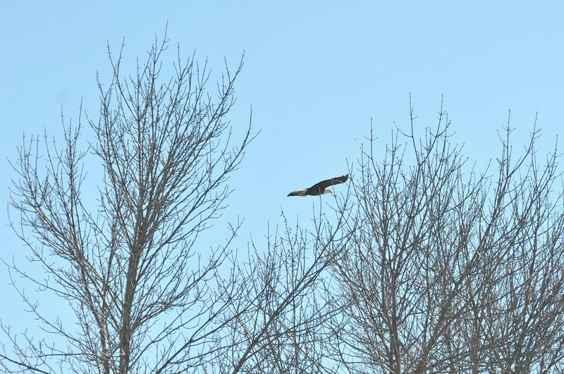 Bald Eagle Search 02-13-11 052