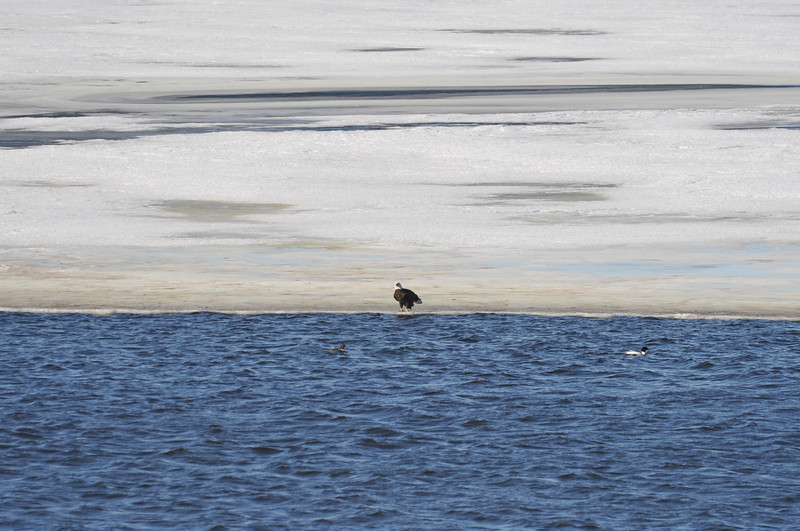 Bald Eagle Search 02-13-11 071