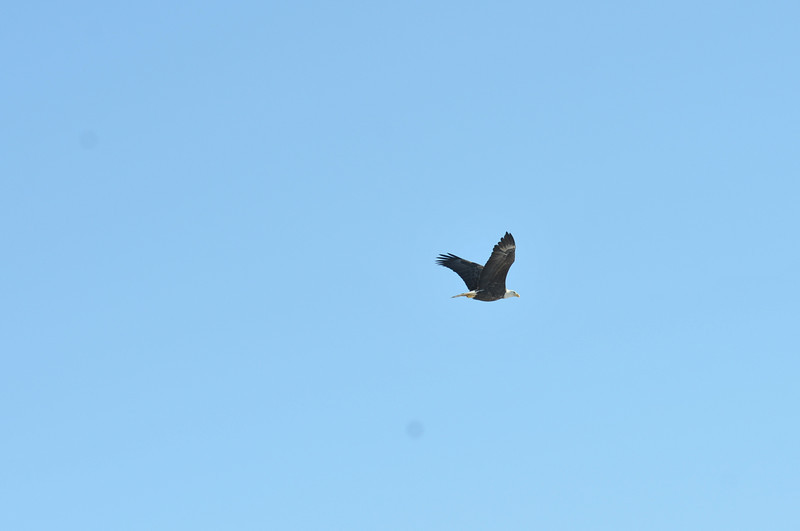 Bald Eagle Search 02-13-11 042