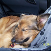 Ginger's trip home from the aminal shelter.