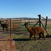 Alpaca - Henryville tornado cleanup - March 10, 2012