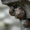 Irish snails