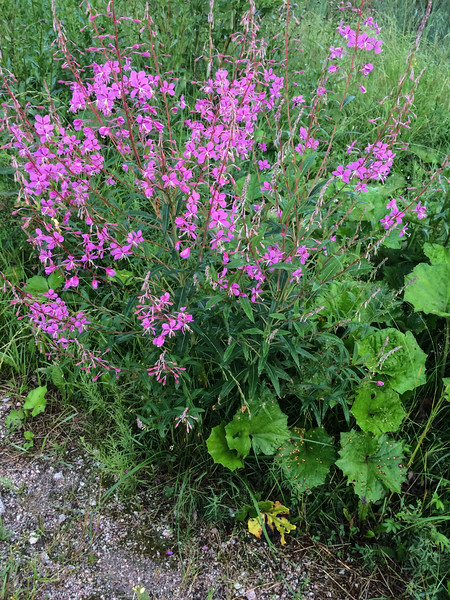Wild flowers close to the Thompson home in Espoo.