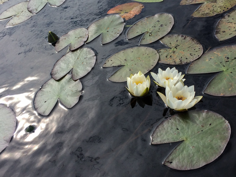 another type of water flower