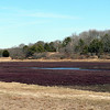 Cranberry field on Cape Cod.