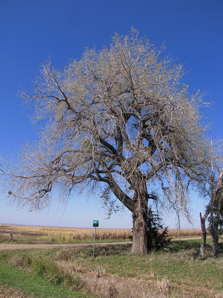 Cottonwood trees...much loved by the brothers<br /> October 11, 2010