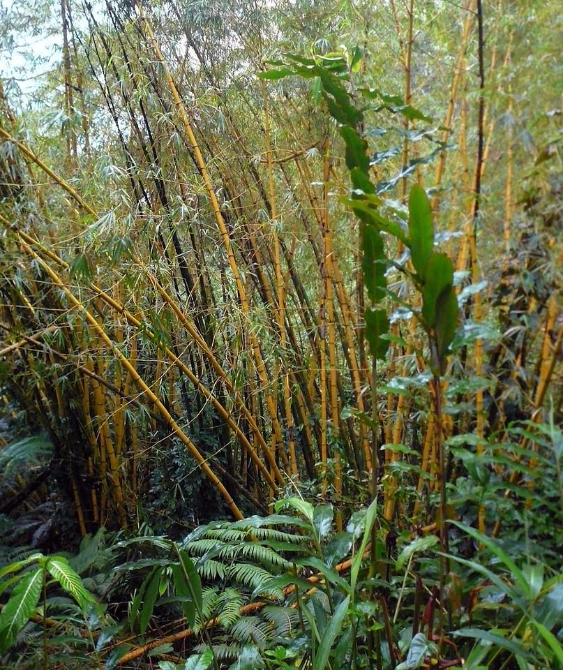 Akaka Falls State Park <br /> February 8, 2008<br /> Bamboo