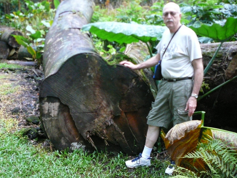 Look at the size of that tree! Pahoa's grew as a logging town. The O'hia trees were used to make railroad ties. One of these ties held the famous spike driven to join the East to the West.