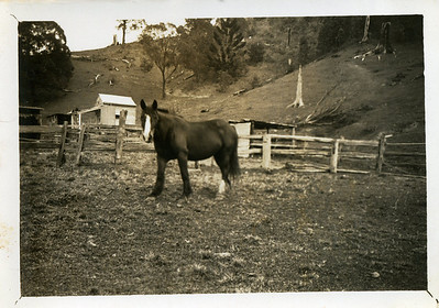 'Blossom' - horse at Grandma's place at Crabbes Creek, northern New South Wales  Photo from my grandmother's collection - May McGilvery (nee Munro)