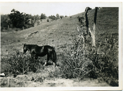 I don't remember a horse at Grandma's place at Crabbes Creekm New South Wales - Blossom must have been before my time.  Inscription - Blossom Stamped on back - Wards Studio, Mullumbimby  Photo from my grandmother's collection - May McGilvery (nee Munro)