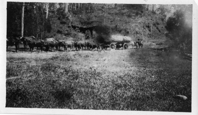 This photo was amongst Wally Munro's photo collection - not marked on the back of the photo - more than likely his bullock team.<br /> <br /> Photo from Wally Munro Collection - May McGilvery (nee Munro).