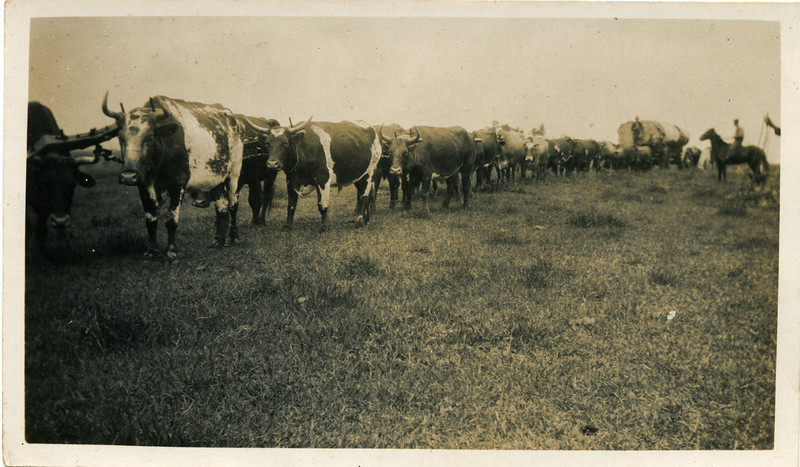 Wally Munro's bullock team hauling a cudgery tree off Alex Hunt's farm at Springdale, close to Maleny in 1927.<br /> <br /> Photo from Wally Munro Collection - May McGilvery (nee Munro).