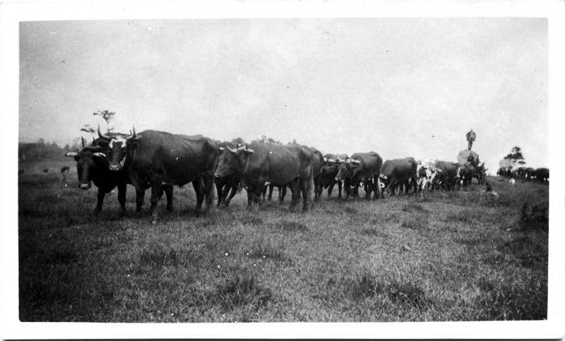 Another view of Wally Munro Bullock Team taking a cudgery tree off Alex Hunt's farm at Springdale, close to Maleny in 1927.<br /> <br /> Photo from Wally Munro Collection - May McGilvery (nee Munro).